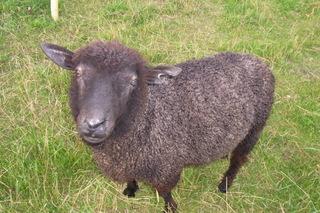 Gottland sheep